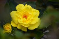 美丽的黄月季鲜花特写图片