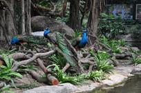 三只孔雀站在树枝上