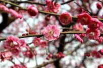 一朵淡红色梅花