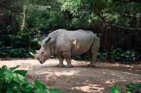 孤单的犀牛