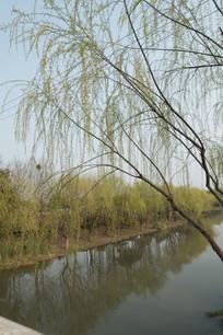河边的柳树