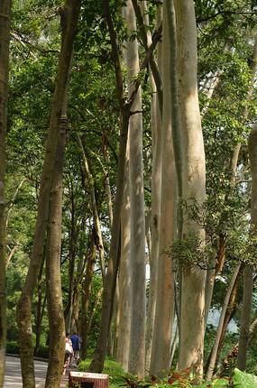 桉树树林风景图片