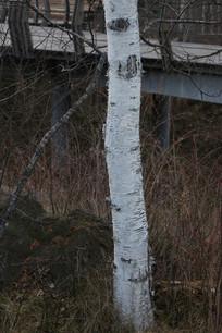 白桦树树干