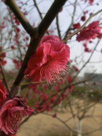 侧面的梅花
