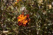 阳光下的菊花