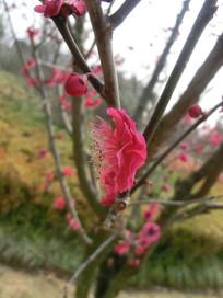 一朵侧面的梅花