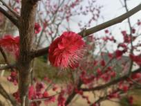 一朵盛开的梅花