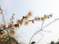 一枝满满的白色梅花