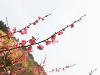 指向天空的梅花