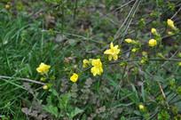 春天雨后的小黄花
