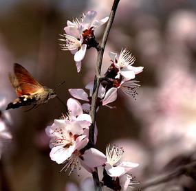 蜂恋花图片