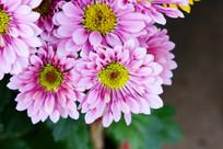 红粉色菊花