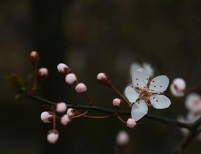 樱花花骨朵