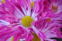 粉红色的菊花