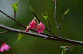 美丽的中国红樱花