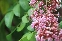 杨桃花蜜蜂采蜜摄影素材