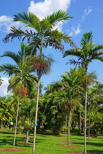 棕榈树丛林中的秀丽射叶椰