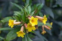 黄色的黄婵花
