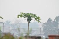 一棵木瓜树风景图片