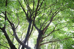 郁郁葱葱的黄角树