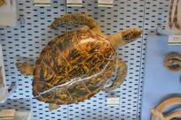 标本绿海龟