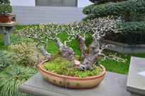 盆景植物多干式榆树