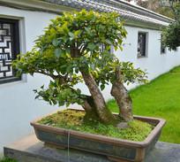 盆景植物多干式柞木