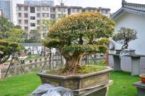 盆景植物枯干式赤楠