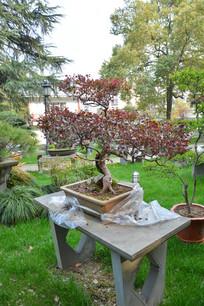 盆景植物枯干式红花维木