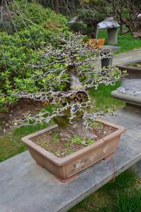 盆景植物枯干式檀树