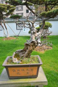 盆景植物枯干式榆树