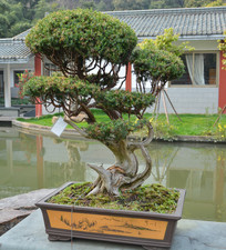 盆景植物曲干式刺柏
