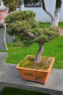 盆景植物曲干式五针松