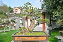 盆景植物曲干式榆树