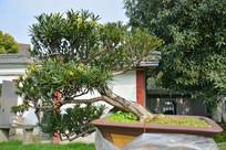 盆景植物斜干式罗汉松