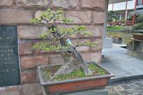 盆景植物斜干式榆树