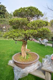 盆景植物直干式瓜子黄杨