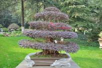 盆景植物直干式红花维木
