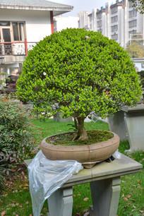 盆景植物直干式黄杨