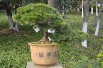 盆景植物直干式五针松