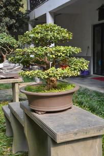 盆景植物直干式柞木