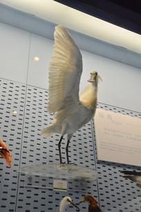 标本白昆鹭