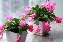 窗台两棵仙人指路开满鲜艳红花