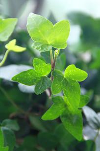 翠绿的藤蔓枝叶嫩芽冲天