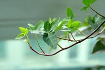 翠绿的藤蔓枝叶嫩芽弯弯上翘
