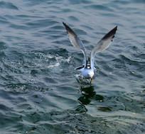 海鸥展翅高清图片