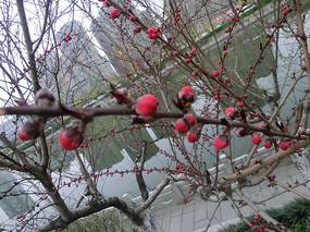 河边的桃花花骨朵