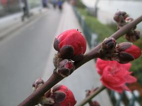 玫红色的桃花花骨朵