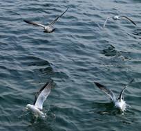 扑捉食物的海鸥高清图片