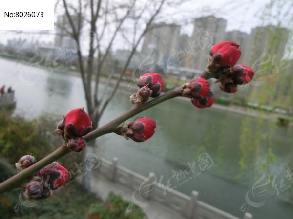 桃花花骨朵图片